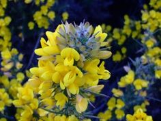Onn ~ Gorse Vitality and Optimism. Gorse with its vibrant yellow flowers links to the Sun and the ancient Celtic solar deity Lugh, a God of light, knowledge, inspiration and 'many arts'. This evergreen shrub can be found in flower all year round so was also a symbol of continuous fertility to the Celts. Onn also provided them with a very useful fuel and helped make up the Beltane fires through which their cattle were driven every year in order to purify and protect them.