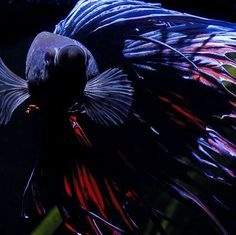 A detailed profile of the popular Siamese Fighting Fish, Betta Splendens, including habitat, care, feeding, and breeding. Read more here.