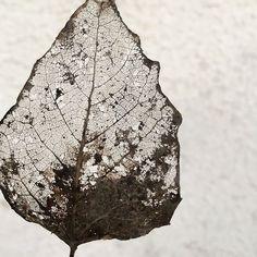 #nature #leave #structure #transparent #winter Leaf Structure, Leaves, Winter, Nature, Instagram, Icons, Winter Time, Naturaleza, Nature Illustration