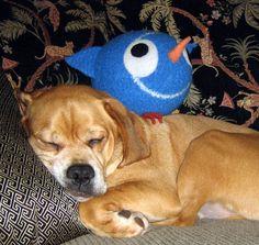 Cousin Abbott Puggle - sleeping on the job.