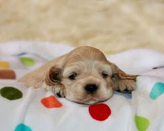 i love cocker spaniel puppies, they are sooo cute!