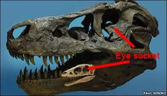 Did dinosaurs have small eyes?  The orbit of a Tyrannosaurus rex is compared to the eye socket of a Raptorex