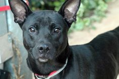 NAME: Hyena  ANIMAL ID: 24215064  BREED: shep mix  SEX: male  EST. AGE: 6 yr  Est Weight: 49 lbs  Health: heartworm neg  Temperament: dog friendly, people friendly.  ADDITIONAL INFO: RESCUE PULL FEE: $49  Available: 11/4