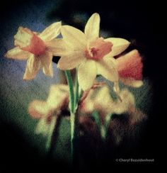 Dashing Daffodils | Cheryl Bez Photography More at: cherylbez.photography Daffodils, Cheryl, Texture, Landscape, World, Plants, Photos, Photography, Painting