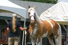 Sato - Palomino, Sabino, THoroughbred Stallion | Flickr - Photo Sharing!