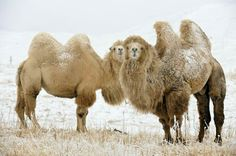 Beautiful Bactrian (2 humped) Camels in Mongolia
