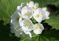 "The Diphylleia Grayi, aka ""Skeleton Flowers"", turn beautifully transparent when they become wet."