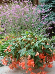 Lythrum salicaria and begonia