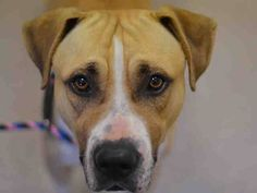 TO BE DESTROYED - 10/17/14 Manhattan Center   My name is BYRON. My Animal ID # is A1017278. I am a male tan and white am pit bull ter and black mouth cur mix. The shelter thinks I am about 2 YEARS   I came in the shelter as a STRAY on 10/12/2014 from NY 10021, owner surrender reason stated was STRAY.