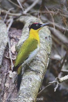 Pica-Pau-cabeça-Preta ( Picus erythropygius ) ( Macho ) Camboja , Laos , Myanmar , Tailândia e Vietnã.