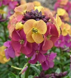 Erysimum 'Artist's Paintbox': loves poor soil and sun, smells lovely and brightens up early spring.
