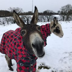 Joanne Starkey ~ Thank you for the invite. Here are mine and my friends 2 donkeys Danny and Tommy enjoying the snow last week. They are retired Blackpool beach donkeys, they came to us at the end of this summer season after 20 years on the golden mile. Loving their retirement ❤
