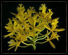 Orquideas Cymbidium, Miniature Orchids, Orchidaceae, Wild Orchid, My Secret Garden, All The Colors, Exotic, America, Yellow
