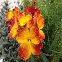 Erysimum 'Oranje' (muurbloem)