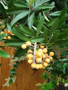 Loquat Tree - just learned what this ubiquitous plant is....and that its fruit is edible.