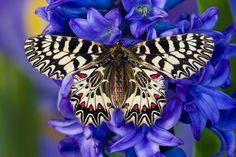 Darrel Gulin Photography | Gallery | Butterflies I Southern Festoon butterfly
