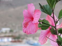 Hibiscus rosado - Pink Hibiscus