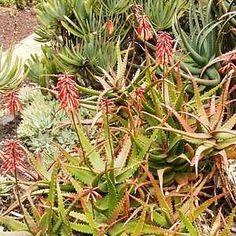 Aloe cameroniiatSan Marcos Growers