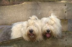 Aesthetically pleasing --  dewollewei photography | Old English Sheep Dogs