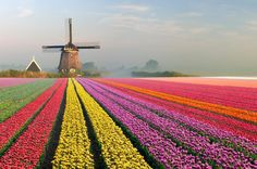 Whether they're in Amsterdam's Keukenhof Gardens or the countryside between Hillegom and Warmond, the tulips of Holland are almost fictionally beautiful. The addition of Dutch windmills and people riding around on bicycles only adds to the charm. Visit Holland, Dartmoor National Park, Blue Hydrangea, Verse Of The Day, Blooming Flowers, Day Lilies, Places To See, Beautiful Places, Amazing Places