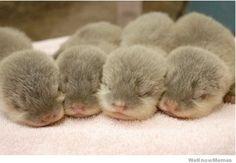 Sleeping Otter Babies