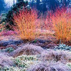dogwood midwinter fire shrubs - Bing images Garden Shrubs, Garden Plants, Garden Landscaping, Landscape Design, Garden Design, Sutton Seeds, Winter Plants, Woodland Garden, Garden Borders