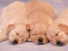 Sleeping Golden Labrador Retriever Puppies