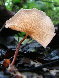 An image of the amazingly beautiful Marasmius cladophyllus, from Galapagos Wild Mushrooms, Stuffed Mushrooms, Slime Mould, Plant Fungus, Fotografia Macro, Mushroom Fungi, Unusual Plants, Patterns In Nature, Amazing Nature