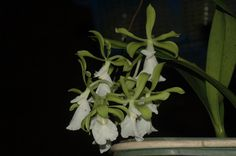 Encyclia cordigera alba native to Mexico hot to warm grower very easy to flower with nice fragrant. Description from rv-orchidworks.com. I searched for this on bing.com/images