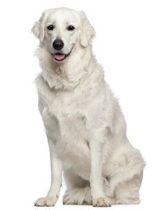 The Kuvasz is a Hungarian dog breed that fiercely loves its family. Learn more about this beautiful dog on the BBS Breed Spotlight.