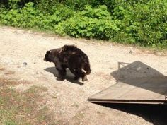 Cinder the bear returns to wild with new friend.........beautiful story please read♥