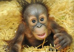 On his third try, this baby Orangutan finally found a home at the Brookfield Zoo.  Read his story at ZooBorns.com and at http://www.zooborns.com/zooborns/2014/07/baby-orangutan-adopted-by-a-new-mom.html