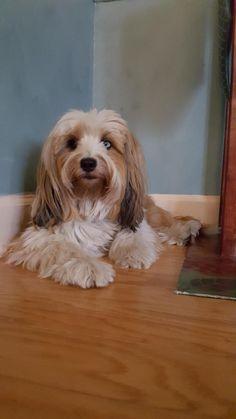 Chenci Grace- Tibetan Terrier What's Up?