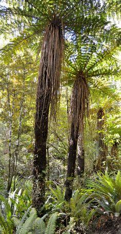 Big Fern - Rainforest New Zealand Big Fern - Rainforest New Zealand Long White Cloud, Tree Fern, Fern Plant, Kiwiana, South Island, Small Island, Ferns, New Zealand, Mamma Mia