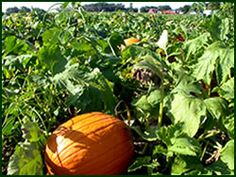 Visit the corn maze and pumpkin patch at Washington Farms in Watkinsville, GA!