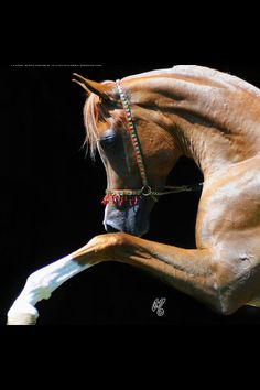 GORGEOUS Golden Chestnut Arabian with high steps and chrome