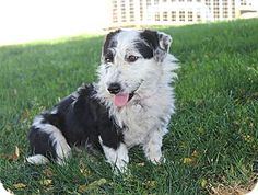 Doxie mix housetrained and good with kids and dogs! http://www.adoptapet.com/pet/8888840-los-angeles-california-dachshund-mix