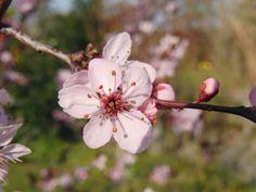 Japanische+Zierkirschenblüte+vor+grünen+Hintergrund Banner, Plants, Website, Landscapes, Cherries, Flowers, Banner Stands, Plant, Banners