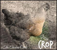 Chicken Anatomy: The Crop, Impacted Crop & Sour Crop