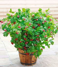 Topf-Himbeere 'Ruby Beauty®'