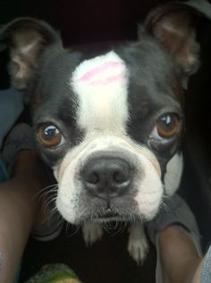 Boston Terrier Kiss