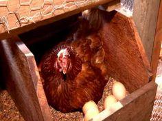 A criação de galinhas caipiras para produção de ovos