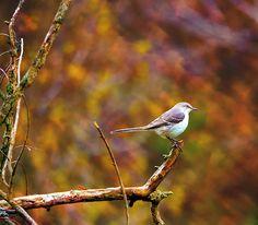 Title  Northern Mockingbird   Artist  Deena Stoddard   Medium  Photograph - Photograph