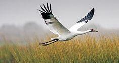 The whooping crane, the tallest bird in North America at nearly five feet, whoopers have seven-foot wingspans, large snow-white bodies, distinctive jet-black wing tips and crescents, and red patches on their heads. Your best chance to see these majestic whoopers is at Aransas National Wildlife Refuge, where they winter from mid-October through March.