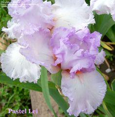 TB Iris germanica 'Pastel Lei' (Brown, 1988)