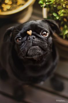 My heart is your heart                                                                                                                                                       More #pug