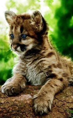 A beautiful young cougar cub with amazing blue eyes