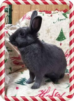 Bijou. #adoptdontshop #bunnies #rabbits #gainesville