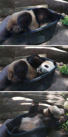 Mr. Wu in a tub series by Mollie Rivera #cute #panda