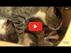 Cat becomes mother of squirrel http://cats-videos.com/v/cat-becomes-mother-of-squirrel#catsoftwitter?utm_campaign=crowdfire&utm_content=crowdfire&utm_medium=social&utm_source=pinterest #pets #cats #animals #meow